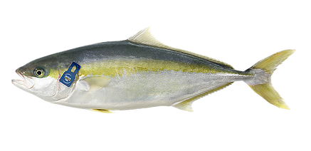 King Fish Zeeland 2 Filet Japan Style 600-800 gramm
